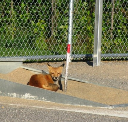 Renard roux au parc Équestre de Blainville.